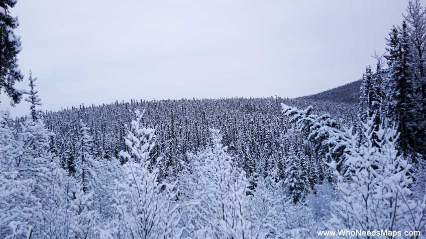 pictures of alaska white trees