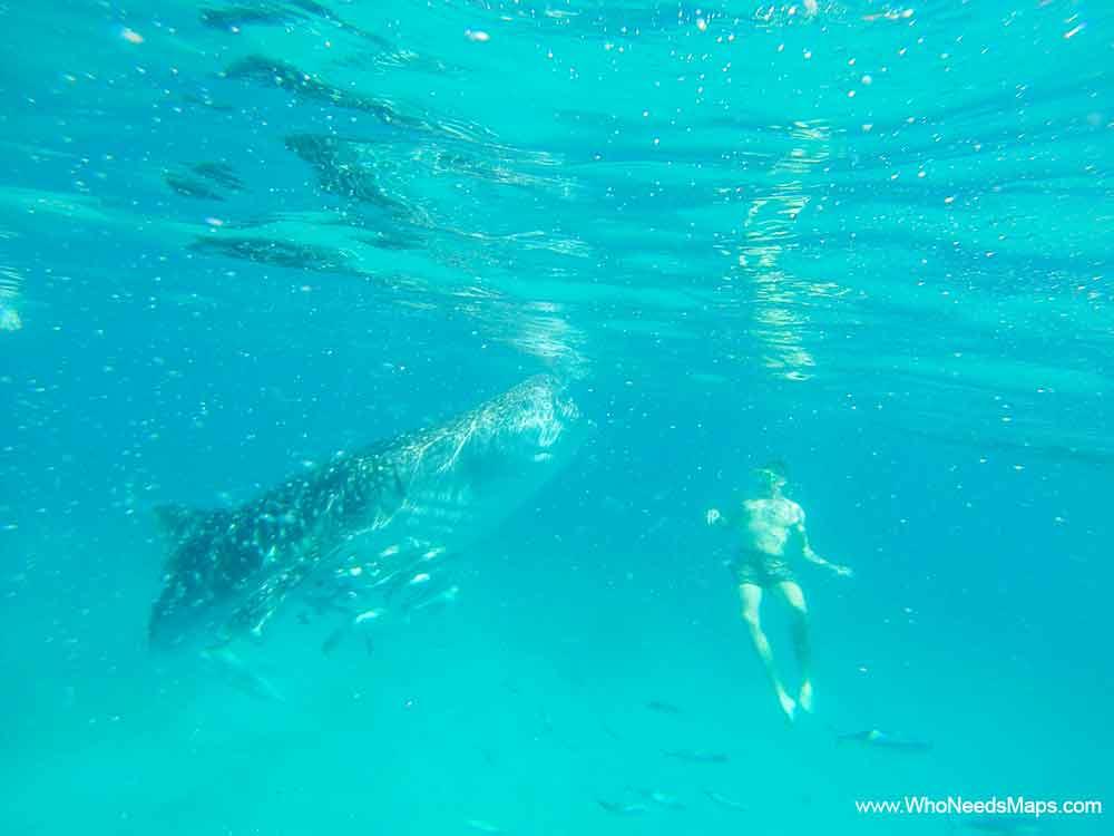 Whale-Sharks-Cebu-Philippines