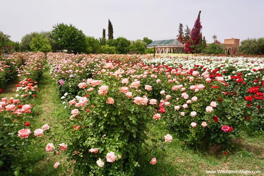 Explore marrakech roses