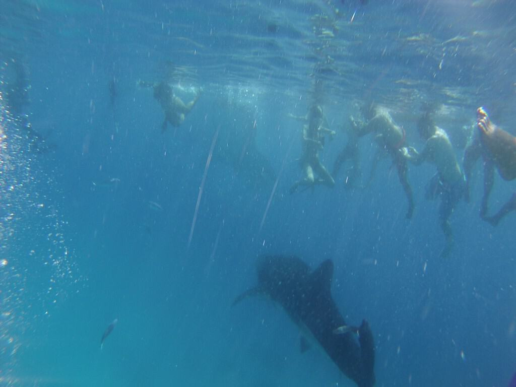 Swim with Whale Sharks - Philippines
